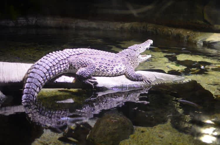 Sea Life London Aquarium  Alligator